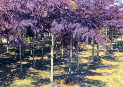 Albizia-Julibrissin-Summer-Chocolate®