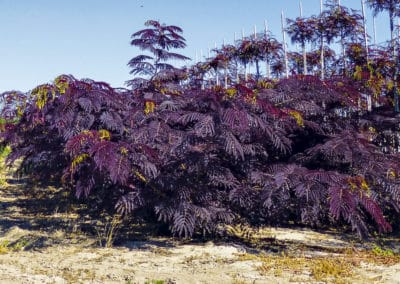 Albizia-Julibrissin-Summer-Chocolate®-Arbusto