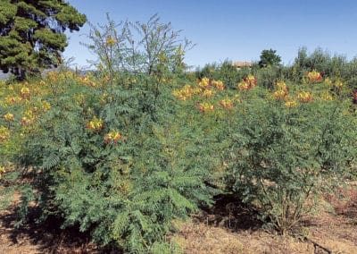 Caesalpinia-Gilliessi-Gilliessii-arbusto