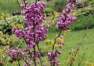 Cercis-Chinensis-Avondale