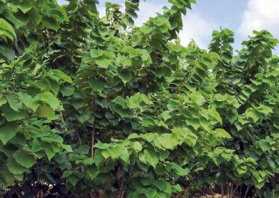 Cercis-Chinensis-Avondale-Arbusto