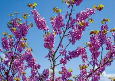 Cercis-Siliquastrum-Árbol-del-Amor-Flor