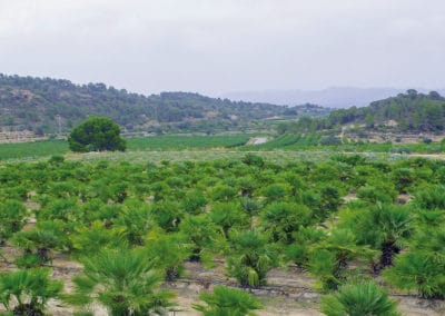 Chamaerop-Humilis-Palmera-Azul-Mediterráneo-Palmáceas