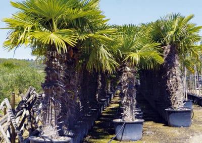 Chamaerop-Excelsa-Palmera-Palmáceas