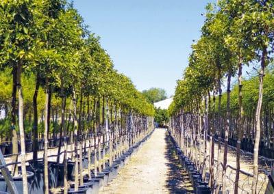 Citrus-Aurantium-Limonero