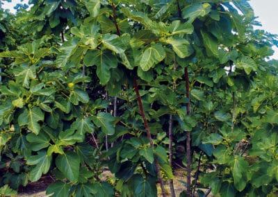 Ficus-Carica-Arbusto-Higuera
