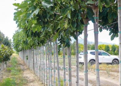 Ficus-Carica-Higuera-Ejemplar