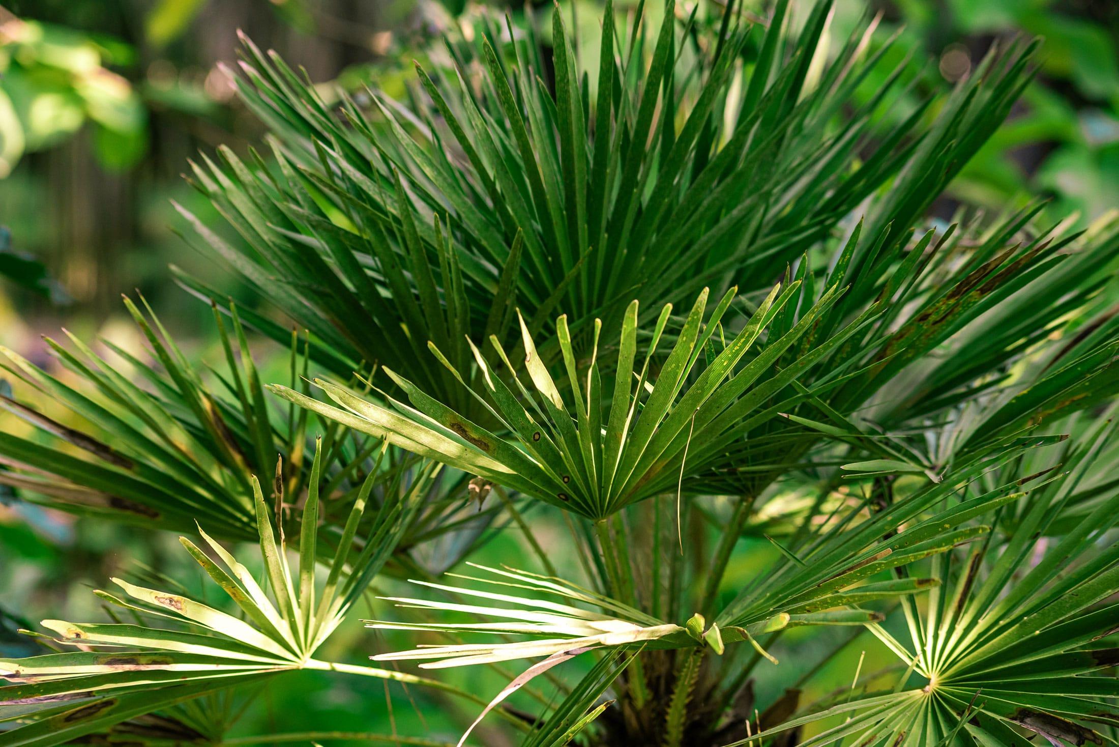 Palmáceas Viveros Ebro