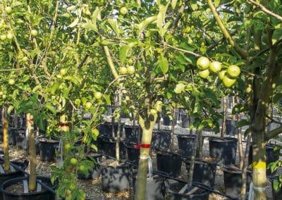 Frutales-Ornamentales