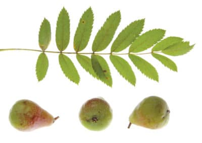 Sorbus-Domestica-Serbal-Frutales-Ornamentales