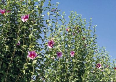 Hibiscus-Syriacus-Flor