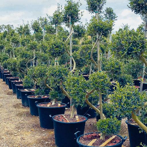 Olivos Ornamentales Formación Especial Viveros Ebro Espiral Bonsai