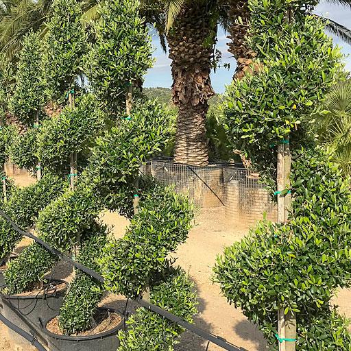 Olivos Ornamentales Formación Especial Viveros Ebro Espiral