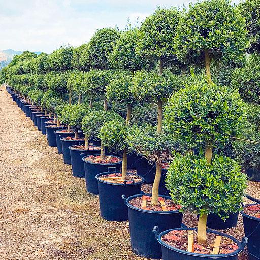 Olivos Ornamentales Formación Especial Viveros Ebro 3 y 4 bolas