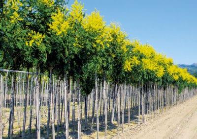 Koelreuteria-Paniculata-Coral-Sun®-Plantación
