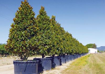 Magnolia-Gallissoniensis-Grandiflora-Pyramidal