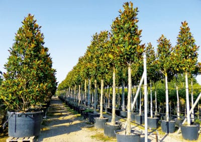 Magnolia-Gallissoniensis-Grandiflora-Tronco-Alto