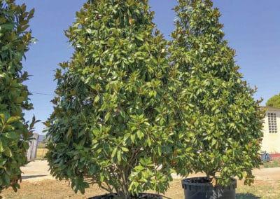 Magnolia-Gallissoniensis-Grandiflora-Ejemplar