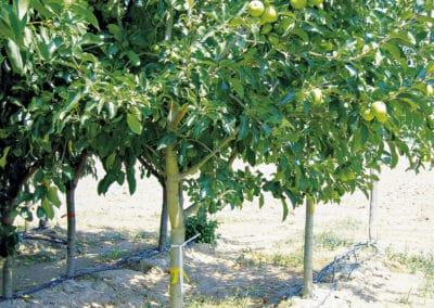 Malus-Domestica-Manzano