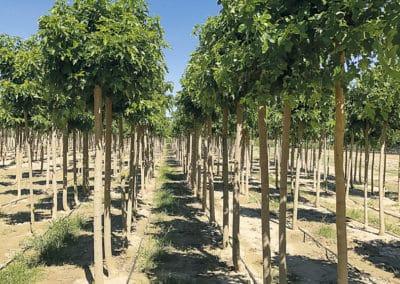 Morus-Fruitless-Plantacion-Morera