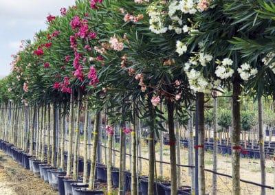 Nerium-Oleander-Adelfa