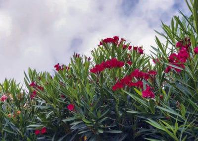 Nerium-Oleander-Flor-Adelfa