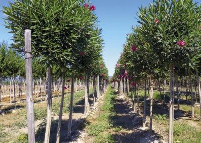 Nerium-Oleander-Plantación-Adelfa