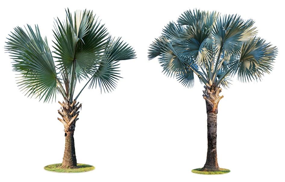 Palmáceas Viveros Ebro ©Copyright AdobeStock 236280377