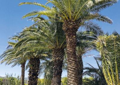 Phoenix-Canariensis-Palmera-Palmáceas