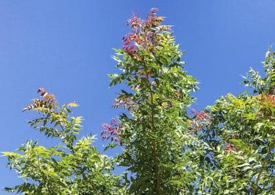Pistacea-Sinensis-Flor