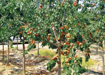Prunus-Armeniaca-Albaricoquero