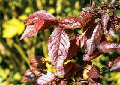 Prunus-Cerasifera-Nigra