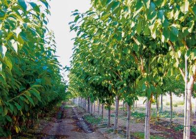 Prunus-Cerasus-Cerezo