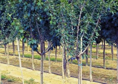 Prunus-Communis-Ciruelo