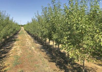 Prunus-Dulcis-Almendro