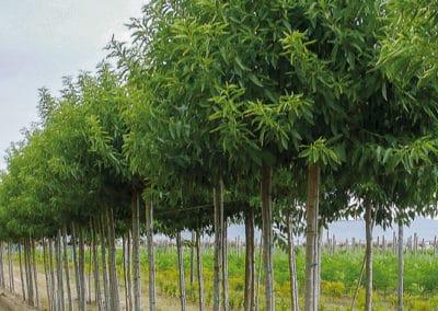 Prunus-Dulcis-Almendro-Plantación
