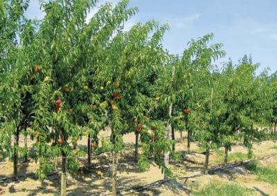 Prunus-Persica-Melocotonero