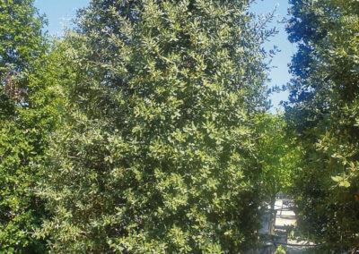 Quercus-Ilex-Ilex-Piramidal