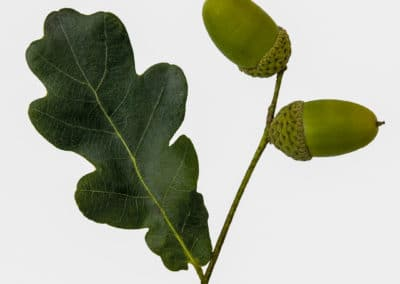 Quercus-Robur-Roble