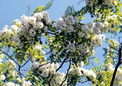 Robinea-Pseudoacacia-Flor