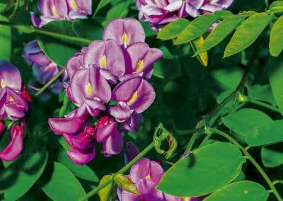 Robinea-Pseudoacacia-Casque-Rouge-Flor