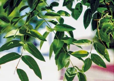 Sophora-Japonica-Hoja