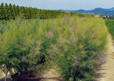 Tamarix-Pink-Cascade®-arbusto